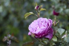 Portland Oregon Rose Garden Royalty Free Stock Photos
