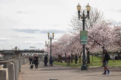 Portland, OU, EUA - em março de 2017: Os povos que andam ao longo da fuga da bicicleta da margem como árvores de cereja florescem imagem de stock