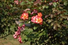 Portland Rosa Imagem de Stock Royalty Free