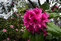 Portland`s Crystal Springs Rhododendron Garden Royalty Free Stock Image