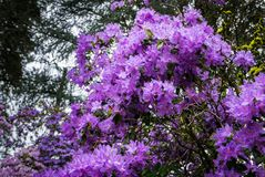 Portland`s Crystal Springs Rhododendron Garden Stock Images