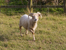 Portland sheep. Very rare breed from the Isle of Portland in Dorset, England Royalty Free Stock Photo