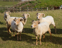 Portland sheep breed from Dorset. Portland sheep.  Very rare breed from the Isle of Portland in Dorset, England Royalty Free Stock Photo
