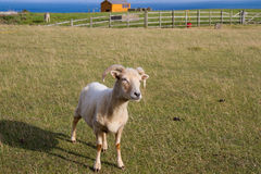 Portland sheep breed from Dorset. Portland sheep.  Very rare breed from the Isle of Portland in Dorset, England Stock Image
