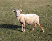 Portland sheep breed from Dorset. Portland sheep.  Very rare breed from the Isle of Portland in Dorset, England Royalty Free Stock Images