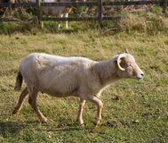 Portland sheep from Dorset. Portland sheep.  Very rare breed from the Isle of Portland in Dorset, England Stock Photo