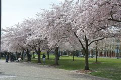 Cherry Blossoms at Tom McCall Waterfront Park in Portland, Oregon royalty free stock images