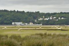 Portmeiron village on the River Dwyryd Estuary. Portmeirion Village on the River Dwyryd Estuary with grazing salt marsh lambs, Gwynedd in North Wales, UK Stock Image