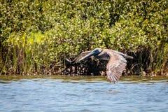 Porto Aransas Texas do pelicano de Brown do voo imagens de stock