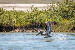 Porto Aransas Texas do pelicano de Brown do voo foto de stock