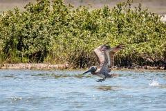 Porto Aransas Texas do pelicano de Brown do voo imagem de stock royalty free