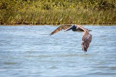 Porto Aransas Texas do pelicano de Brown do voo foto de stock royalty free