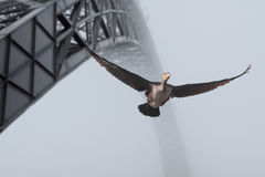 Porto cormorant Royalty Free Stock Photo