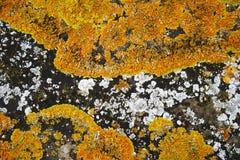 Porto de Lichen Caloplaca Foto de Stock Royalty Free