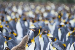 Porto dell'oro della colonia di re Penguins Immagini Stock