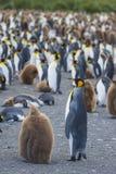 Porto do ouro da colônia do rei Penguins foto de stock royalty free
