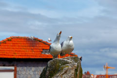 porto Zeemeeuwen op het dak Stock Foto