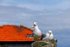 porto Zeemeeuwen op het dak Stock Foto's