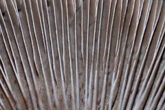 Portobello is een reuzekastanjepaddestoel De lamellen op de onderkant van portobellopaddestoel van de hoed zijn gekleurde bruin e stock afbeelding