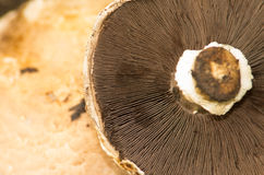 Portobello mushroom lying upside down naturally Stock Images