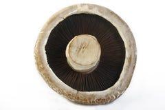 Portobello mushroom. On white background stock images