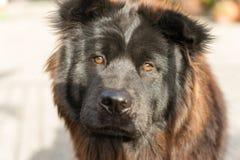 Portone di Chow Chow Dog Purebred Breed Metal fotografie stock