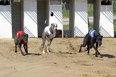 Portone iniziare alla pista di corse dei cani con i seguaci servili Fotografie Stock