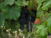 Portowine Grapes on vineyard Stock Photography