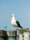 portowy seagull Fotografia Royalty Free