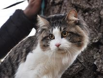 Portpait de cauda cortada do gato de Kurilian fotos de stock royalty free