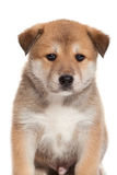 Portpait puppy Royalty Free Stock Photo