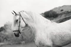 Porträt des weißen reinen spanischen Hengstes, der in See aufwirft andalusia spanien lizenzfreies stockfoto