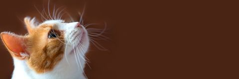 Porträt einer schönen rot-weißen Katze stockbilder