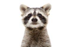 Porträt eines netten lustigen Waschbären stockfotos