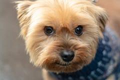 Porträt von einem lächelnden Yorkshire Terrier sehr liebevoll und liebevoller kleiner Hund, Gesichtsabschluß oben lizenzfreie stockbilder