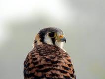 Porträt: Amerikanischer Turmfalke (der kleinste Falke) Stockbilder