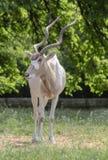 Porträt auf antilopa Adax Stockbilder