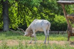 Porträt auf männlichem antilopa Adax, das frisches Gras einzieht Lizenzfreie Stockfotos