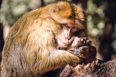 Porträt Barbary-Makakenaffe auf einem Stummel, Ifrane, Marokko Stockfotografie