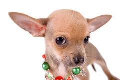Porträt-Chihuahuawelpe auf weißem Hintergrund Stockbilder