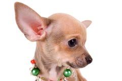 Porträt-Chihuahuawelpe auf weißem Hintergrund Stockfoto