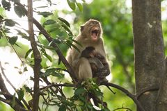 Porträt der Affemutter Stockfotos