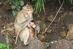 Porträt der Affemutter Lizenzfreies Stockfoto