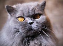 Porträt der alten britischen Katze mit aufmerksamem Anstarren lizenzfreies stockfoto