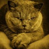 Porträt der alten entzückenden britischen Katze stockfotos
