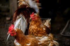 Porträt der beeindruckenden hell farbigen Henne Inländischer Vogel des Freilands und andere Hennen auf Hintergrund auf Bauernhof  Stockbild