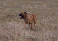 Porträt in der Bewegung Eine seltene Zucht des Hundes - das südafrikanische Boerboel Stockfotos