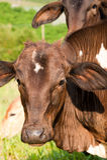 Porträt der braunen Kühe Stockbild