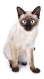 Porträt der braunen Katze auf weißem Hintergrund lizenzfreie stockfotos