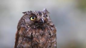 Porträt der eurasischen europäischen Zwergohreule im Wald stock video footage